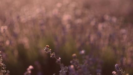 Ladybug sitting on blossoming lavender