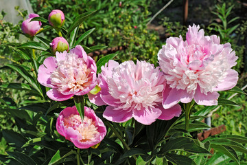 Flowers and buds of the rosy peony in garden