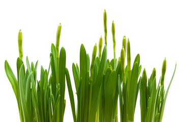 daffodil buds growth isolated white background