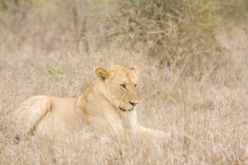lioness reday for hunting