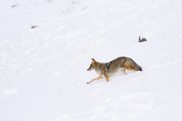Winter Snow coyote