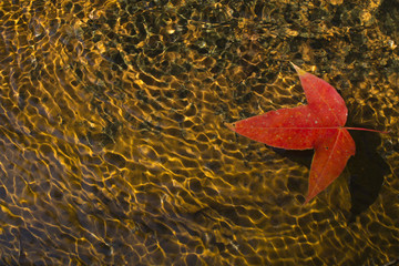 Red maple leaf in brook