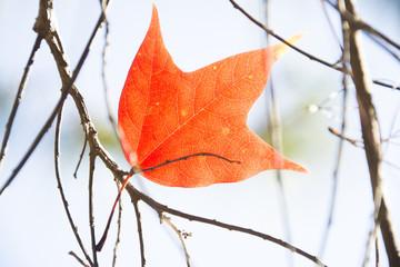 Maple leaf hanging on branch
