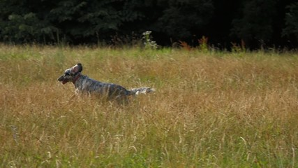 Young English Setter dog is looking for sg on a field in summer