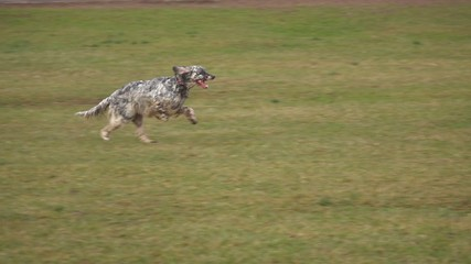 Young English Setter dog running cross on a field, slow motion