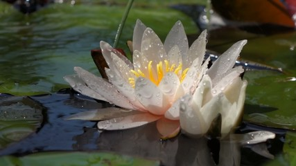 Close-up of a white water lily flower in a small pond