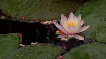 Goldfish feeding close-up with a pink water lily flower