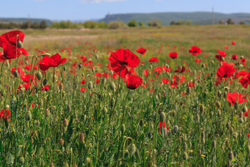 Poppy meadow in Crimea