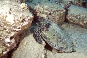 Hawaii Turtle
