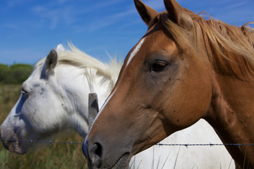 Cavalli Camargue 2