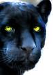 Постер, плакат: Czarna pantera