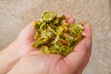 ビール用 ホップの実 Hop for the beer Humulus lupulus