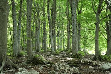 Beech wood - Molise
