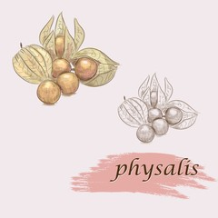 set of ripe physalis. vector sketches