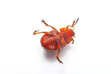 Colorado beetle isolated