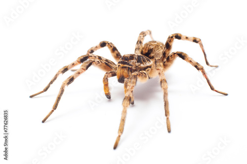 spider isolated - 77626835