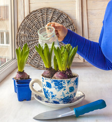 Feminine hands hyacinths in a pot watered