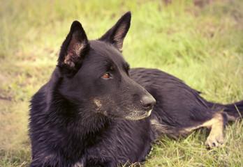 Beautiful shepherd dog
