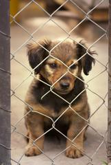 Dachshund puppy sitting behind the fence