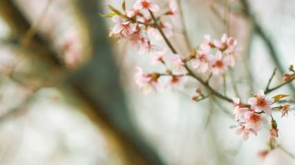 Vintage of pink sakura blossoms
