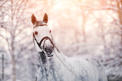 Papiers peints Equitation Portrait of a gray sports horse in the winter