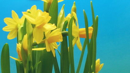 Time-lapse of daffodil(Narcissus sp.) flowers blooming.
