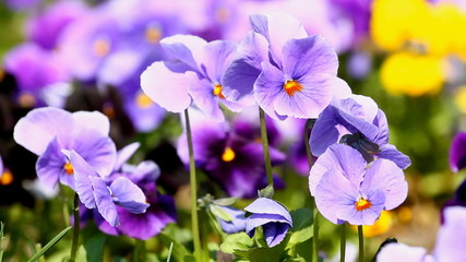 Viola flowers in the summer day