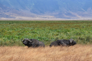 Two Buffaloes in relax