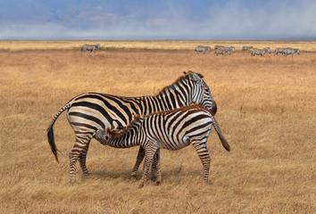 Zebra Nursing