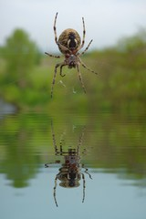 Garden spider on web with water refections