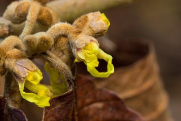 Hamamelis Beginning to Bloom