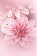 Beautiful, artistic, floral background with pink dahlia
