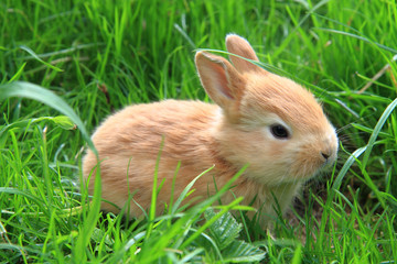 small rabbit in the green grass