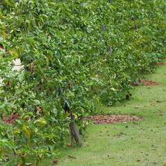 passion fruit in cultivation area agriculture