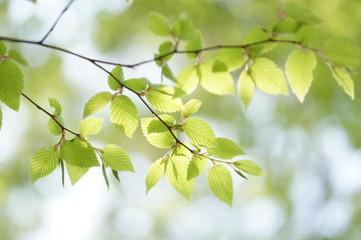 新緑のシデの葉
