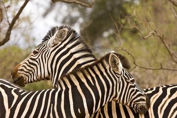 couple of wild zebras at Kruger national park