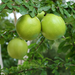 green calabash tree, wild crescentia