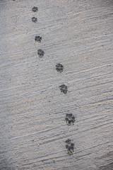 Dog Footprint walk on wet concrete floor background