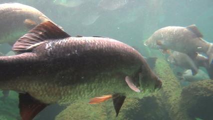 School of barramundi fish swimming underwater.