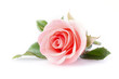 Leinwanddruck Bild - pink rose flower on white background