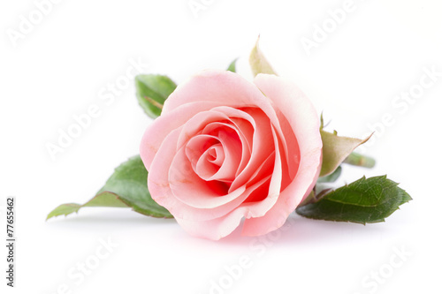 Leinwandbild Motiv pink rose flower on white background
