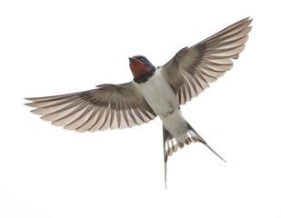 飛翔するツバメ(下)