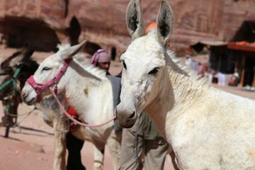 Donkeys amongst the sandstone desert landscape of Petra