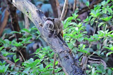 Emperor tamarin (Saguinus imperator) sitting on the tree