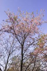 Sakura pink nature views in Phuromro Loei,Thailand