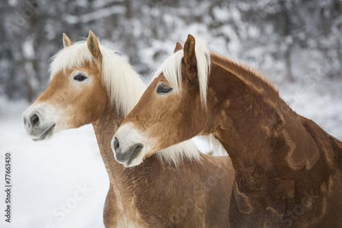 Haflinger im Schnee © skmjdigital