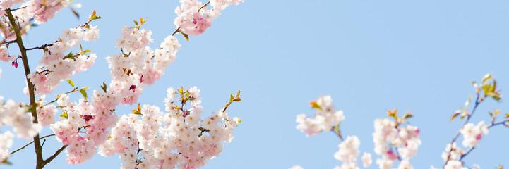 kirschblüten mit himmel im hintergrund
