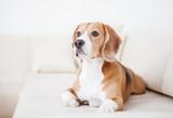 Purebred beagle dog lying on white sofa in luxury Hotel room