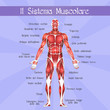������, ������: the muscular system