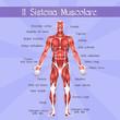 Постер, плакат: the muscular system